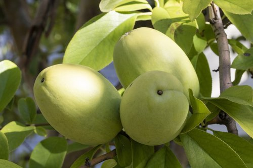 chinese quince  fruit  nature