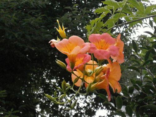 chinese trumpet vine bignoniaceae orange blossom