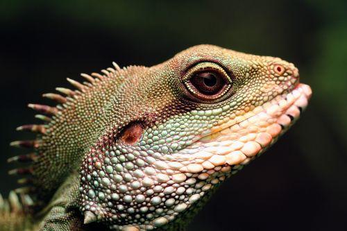 chinese water dragon green water dragon lizard