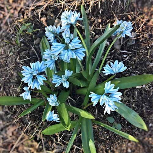 chionodoxa luciliae bell hyacinth spring flower