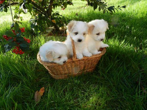 Puppies Coton De Tulear