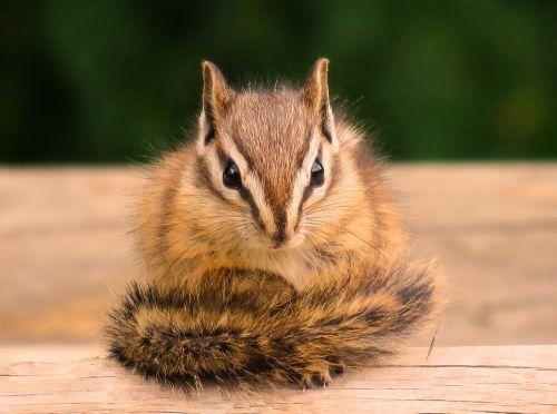 chipmunk wildlife cute