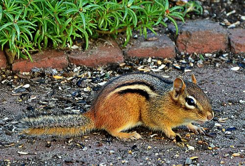 chipmunk cute freilebend