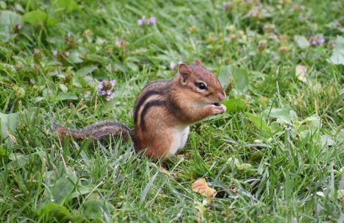 chipmunk animal chipmunk eating