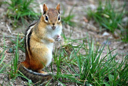 chipmunk animal nature