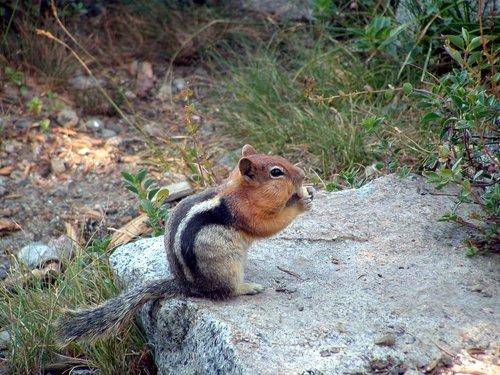 chipmunk  nibbling chipmunk  cheeks