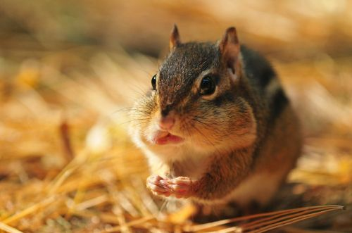 chipmunk rodent fall