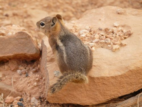 chipmunk cute nager
