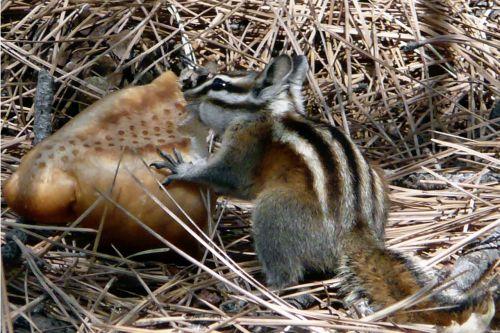 chipmunk squirrel striped