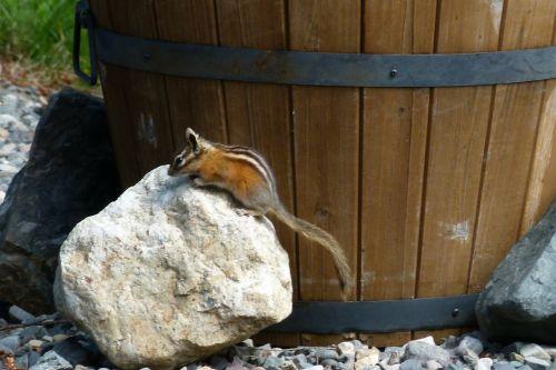 chipmunk squirrel rident