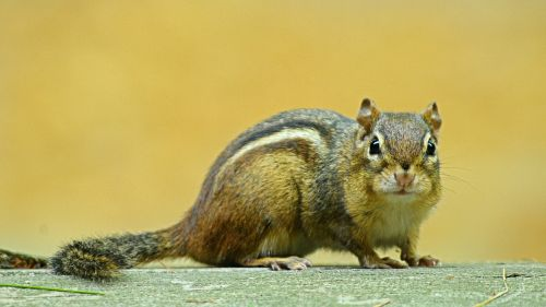 chipmunk rodent animal