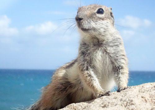 chipmunk fuerteventura rodents