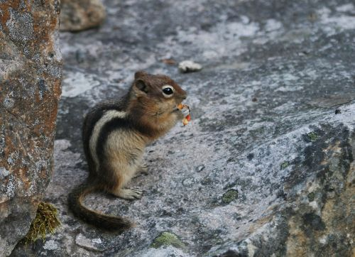 chipmunk ground squirrel rodent