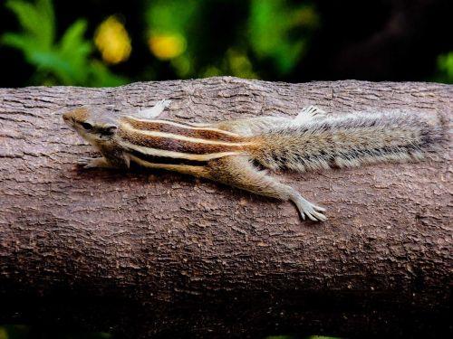 chipmunk rodent sciuridae