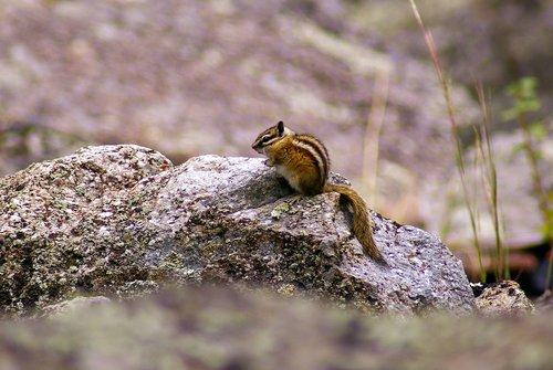 chipmunk at devils tower  animal  rodent
