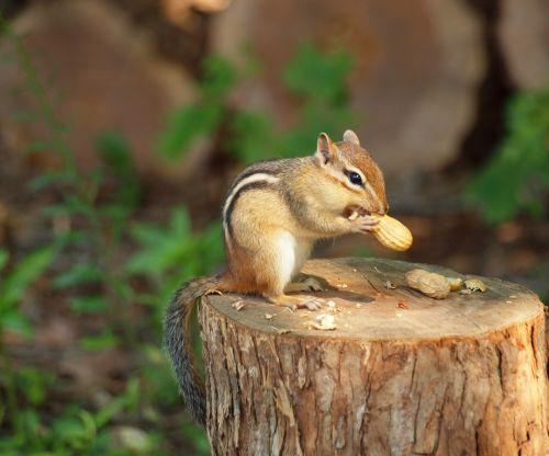 Chipmunk Eating A Peanut