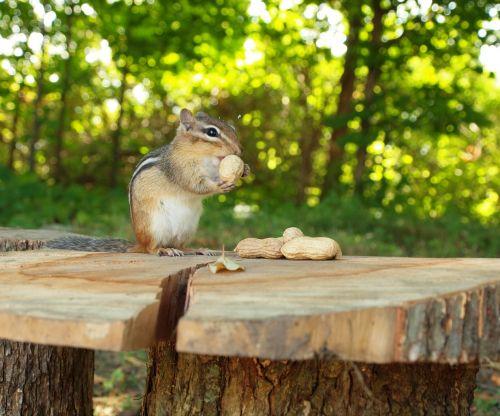 Chipmunk Holding A Peanut