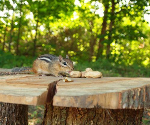 Chipmunk Lured By Peanuts