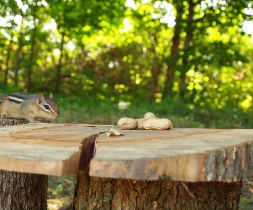 Chipmunk Stalking Peanuts