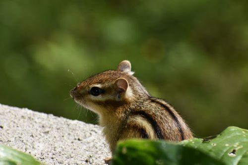 chipmunk striped small animal squirrel