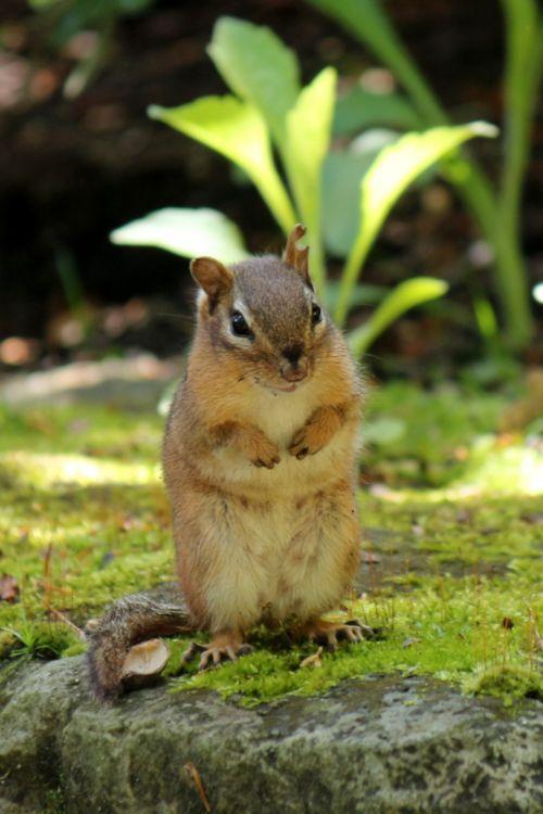 Chipmunk Waiting