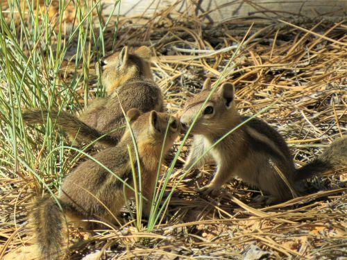 chipmunks rodents brown