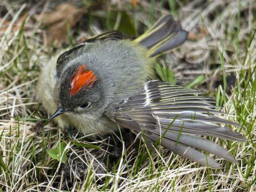 chipping sparrow sparrow spizella passerina
