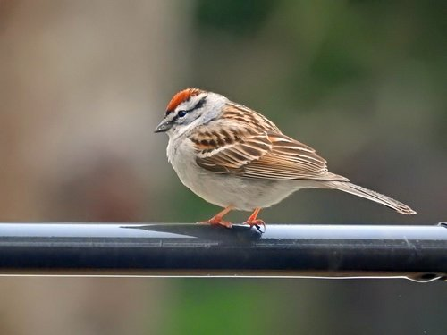 chipping sparrow  nature  bird