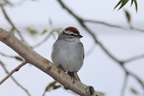 chipping sparrow  sparrow  bird