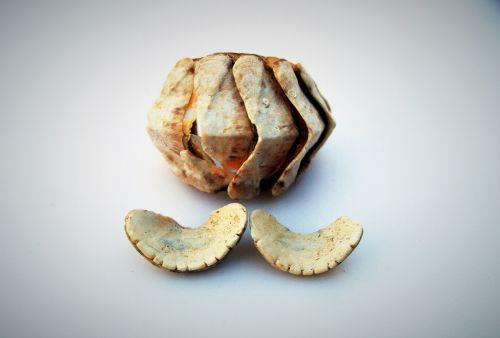 Chiton Mollusc Shell