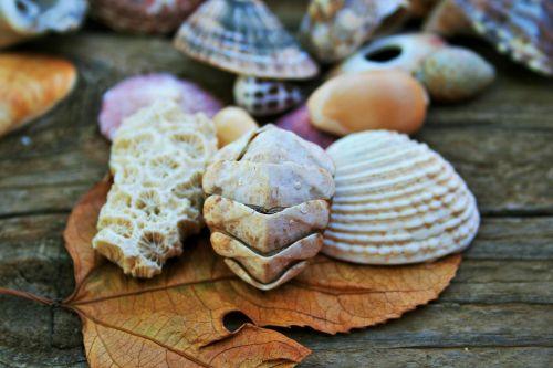 Chiton Shell