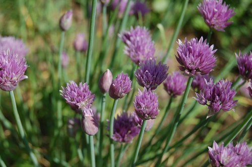 chive  flowers chives