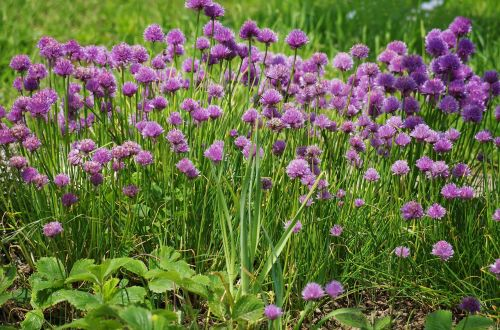 chives flower onions