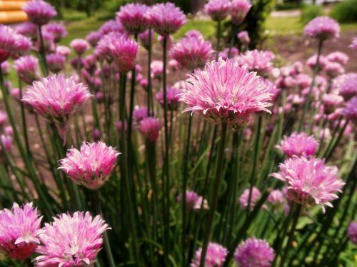 chives flower summer