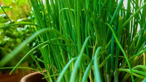 chives herbs garden