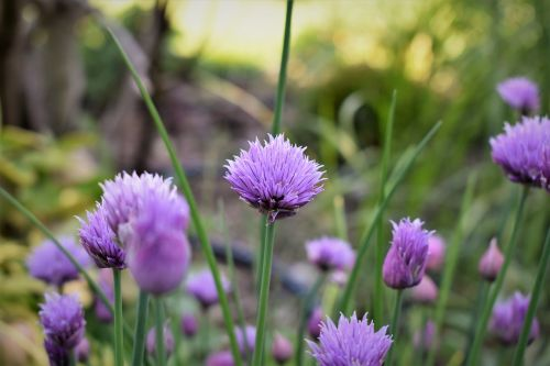 chives blossom bloom