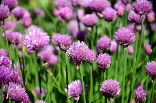 chives chives field spice