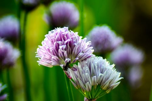 chives plant herbs