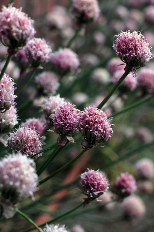 chives,flourished,withered,old,faded,edible,eat,flower,transience,dry,blossom,bloom,plant,violet,green,macro,purple,summer,close,purple flower