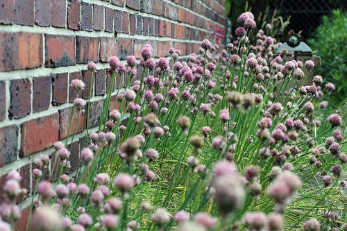 chives,blossom,bloom,bloom,nature,plant,purple,kitchen spice,garden,chive flowers,purple-chive,flowering plant,spice,flower,herb limited,wall,brick,stone wall,stone garden,blütenmeer,withered,faded,herbs,carpet of flowers,light purple,violet
