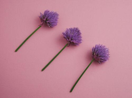 chives blueme purple