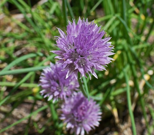 chives  herb  blossom