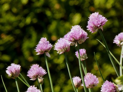 chives  flowers  purple
