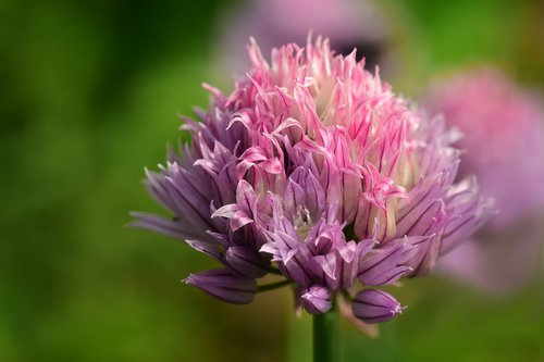 chives  chives blossom  close up