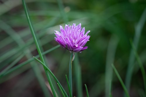 chives  chives blossom  blossom