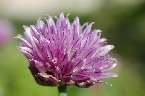 chives  close up  flower
