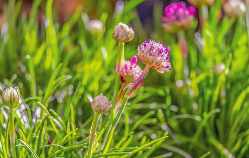 chives  flowers  chive flowers