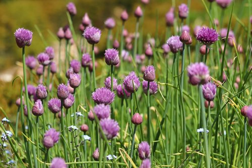 chives  chives blossom  flowers
