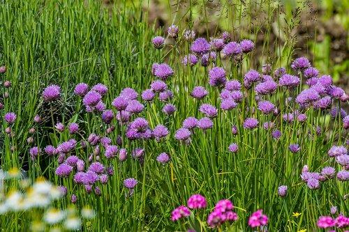 chives  garden  herbs