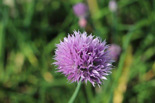 chives  flower  culinary herbs